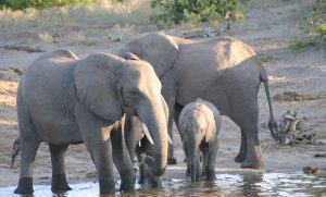 If you wish to see Savuti Elephants at Victoria Falls River Lodge then contact afrikanblues.com