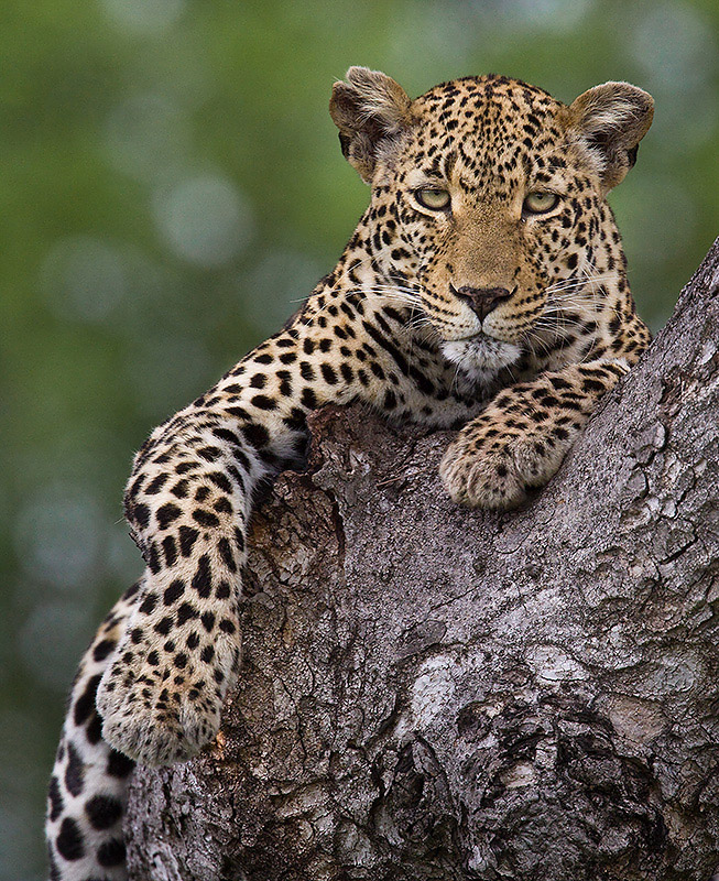 Plan your ultimate African Safari Experience with afrikanblues.com. Experience the tour with this graceful big cat; the African Leopard.