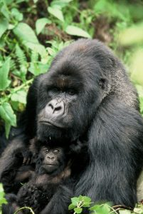 www. afrikanblues.com and get a sneakpeek on what to expect on your Gorilla Trekking in Rwanda.
