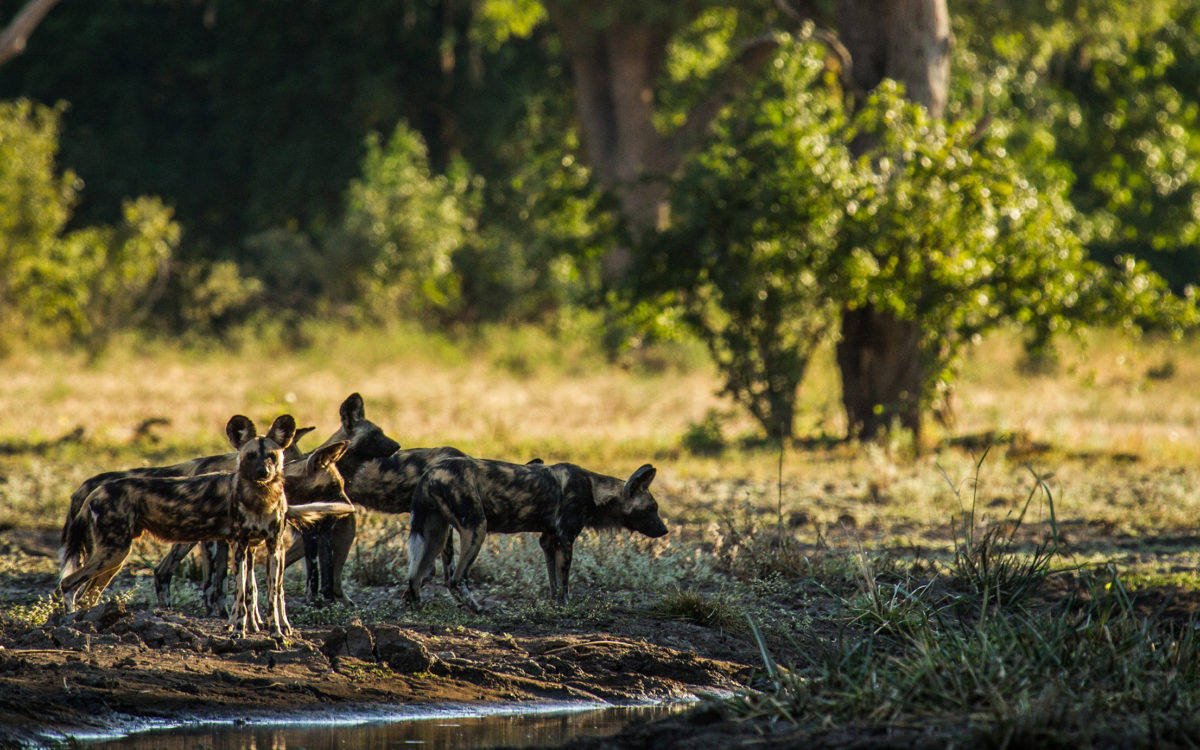 Mana-pools-wild-dogs-painted-wolves-dynasties-zimbabwe